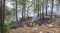 Forest fire smouldering on the ground underneath young pine trees.