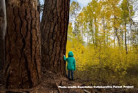 Child standing next to a pine tree looking out at aspens.